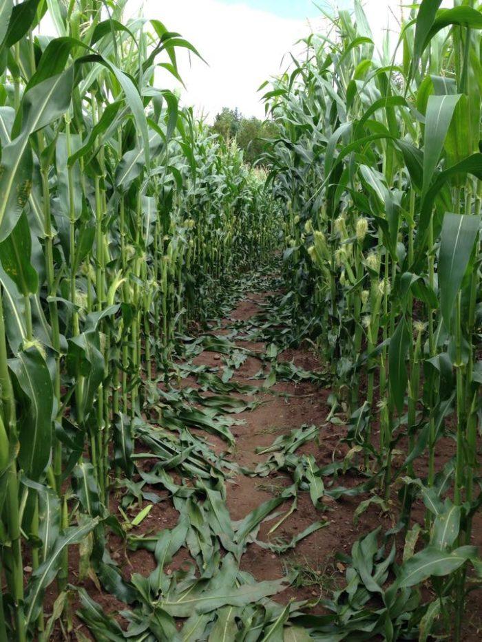 5. Oulu Corn Maze