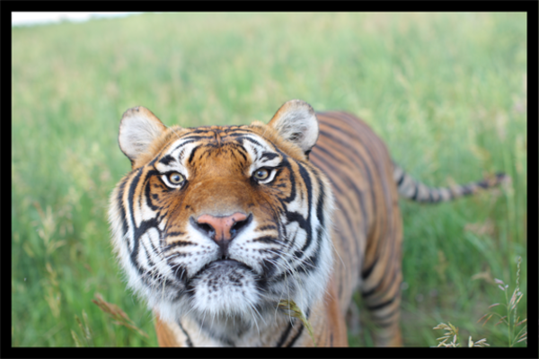 Take a minute to discover why the Wildlife Animal Sanctuary blows any zoo out of the water!