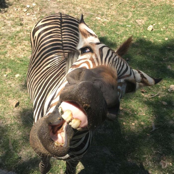 But at the Wild Animal Safari, these animals get really close.