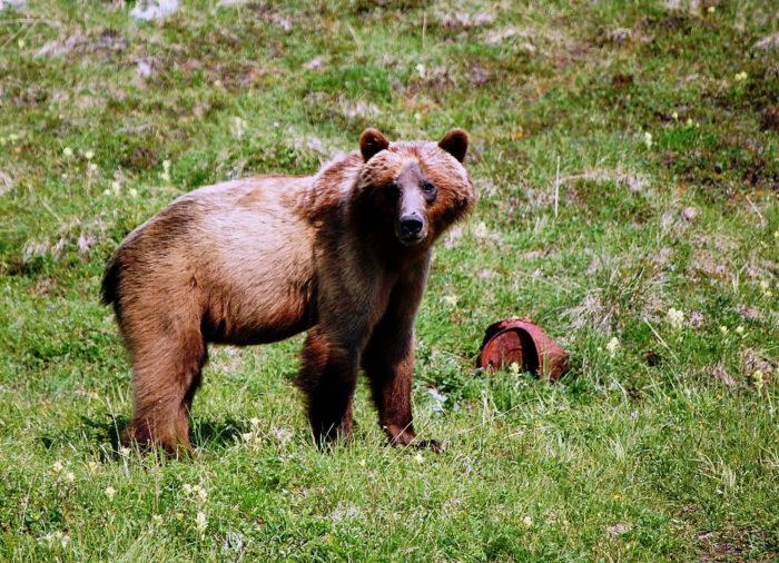 bear Flickr - Wrangell-St. Elias National Park & Preserve