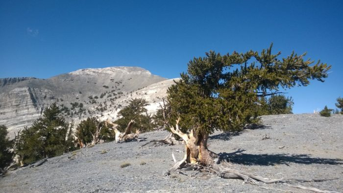 3. Bristlecone Pines