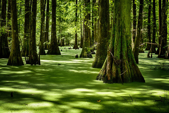 The eerie green of the swamp is one of the most beautiful parts of the hike.