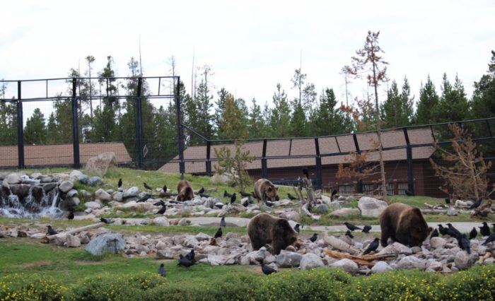 You can view grizzlies engaging in bear behavior...from the safety of your vantage point behind the fence.