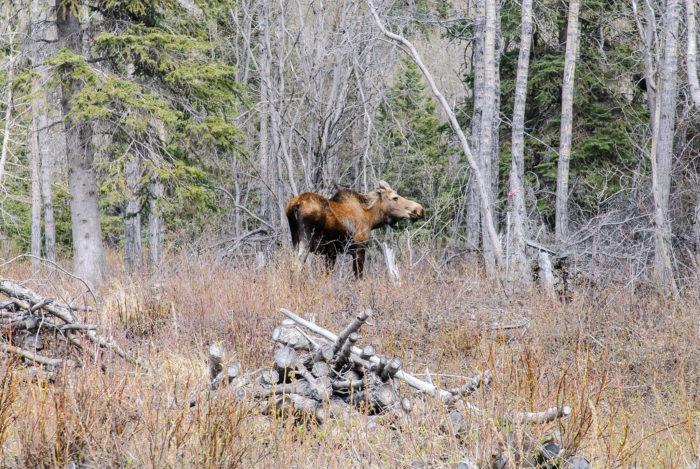 moose Flickr - Wrangell-St. Elias National Park & Preserve