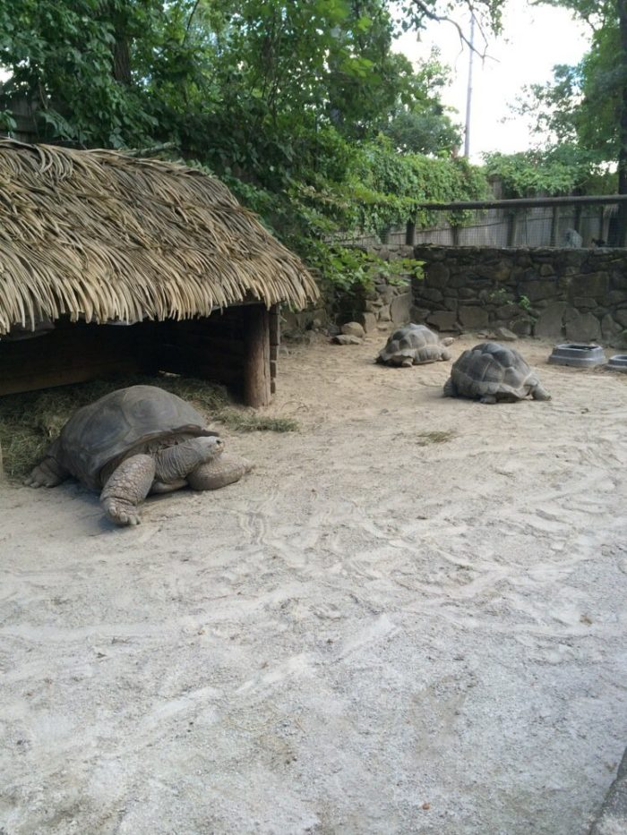 The giant tortoises are a fan favorite.