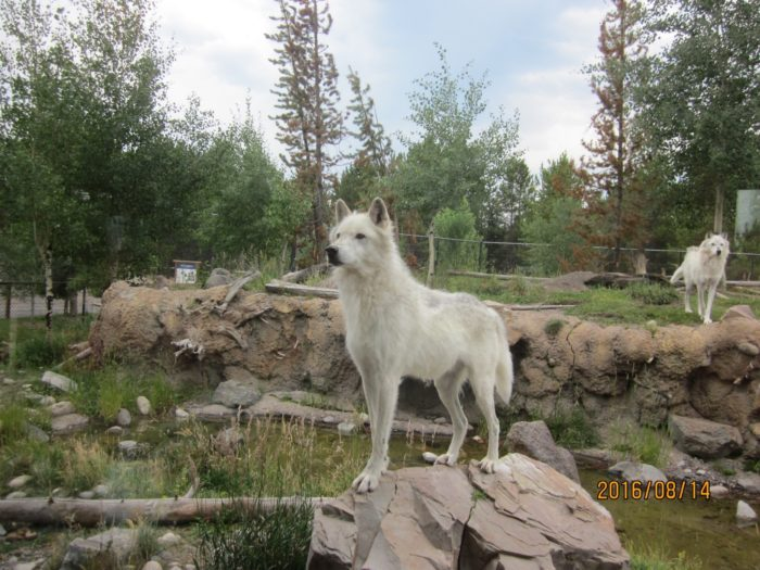Six wolves live at the Grizzy & Wolf Discover Center.
