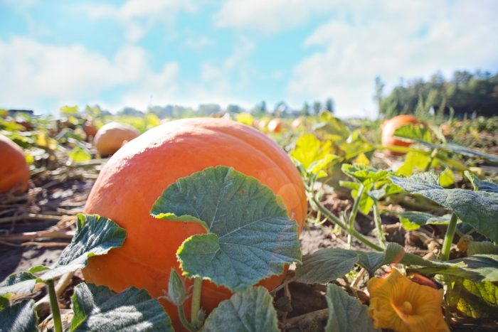 An hour of your trip will be spent at Pumpkin Junction, in partnership with Everitt Farms.