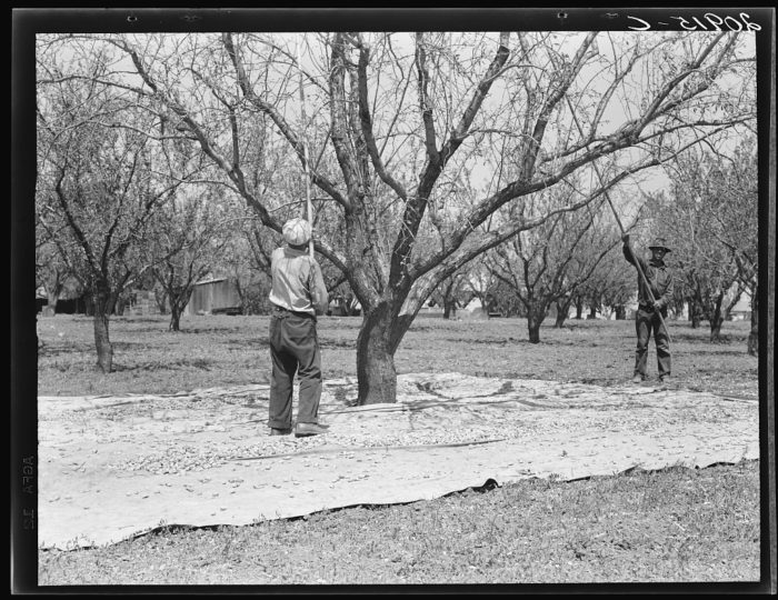 9.  Almonds have always been a crop of abundance in our part of the state. This is the early 1900s in Contra Costa County. Day labor was a blessing for these men.