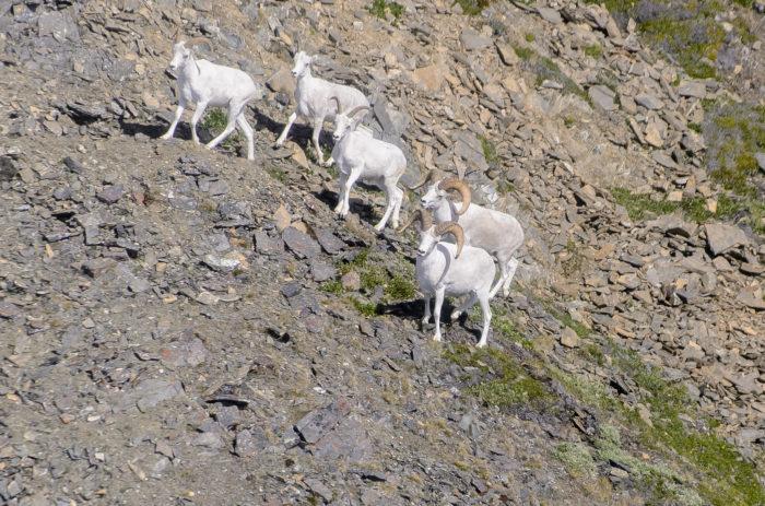 sheep Flickr - Wrangell-St. Elias National Park & Preserve