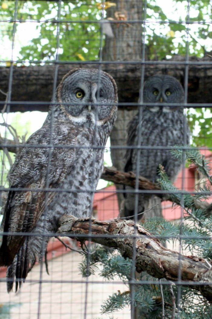 great grey owls...