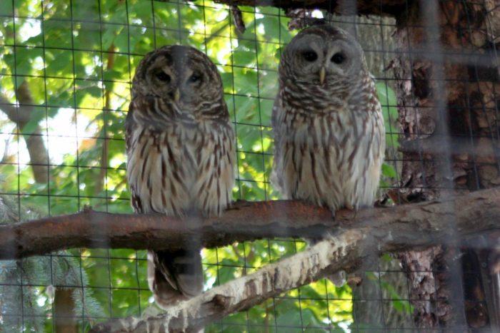 barred owls...