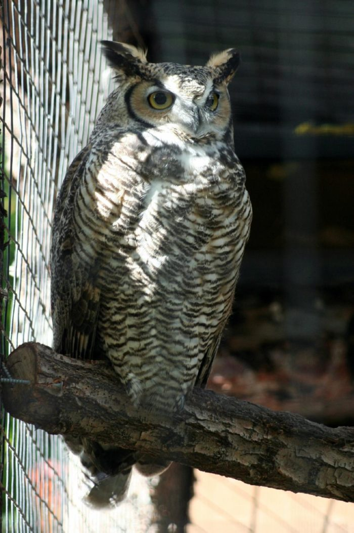 and a gorgeous great horned owl - just to name a few.