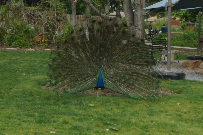 The peacocks at Tracy Aviary are also pretty impressive.