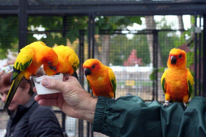 Sun conures are friendly, colorful little birds.