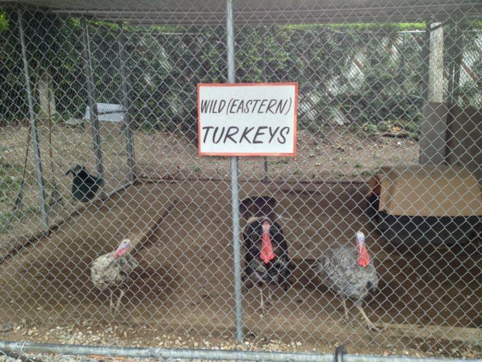 And turkeys.