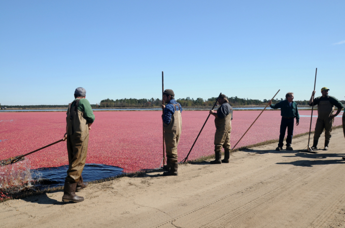 Still an active cranberry bog, Whitesbog was once the largest cranberry farm in New Jersey. It is also the site where the highbush blueberry was first cultivated.