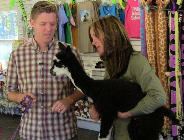 After the safari, head over to the gift shop to find a unique souvenir...or to pet an alpaca.