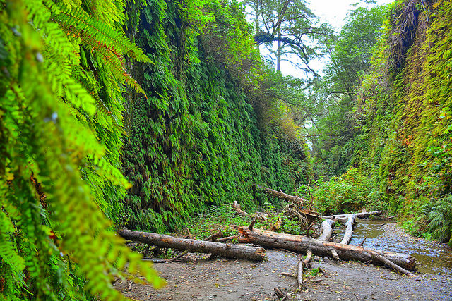 It's easy to see how Fern Canyon got its name. The steep walls are covered with at least five different species of this amazingly green plant.