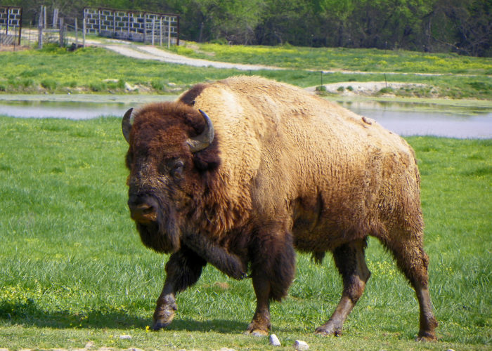 And that includes herds of bison, buffalo, and yak.