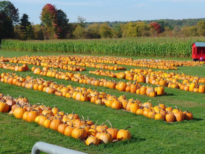 4.  Whitcomb's Land of Pumpkins and Corn Maze - 347 Fay Lane, Williston