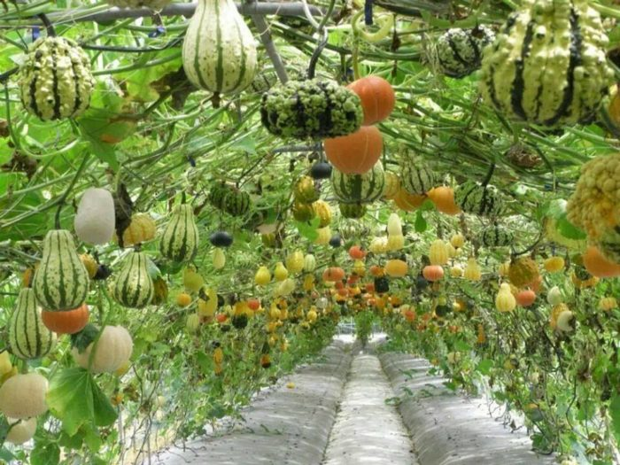 In fact, some of the gourds are growing in a pretty interesting way.