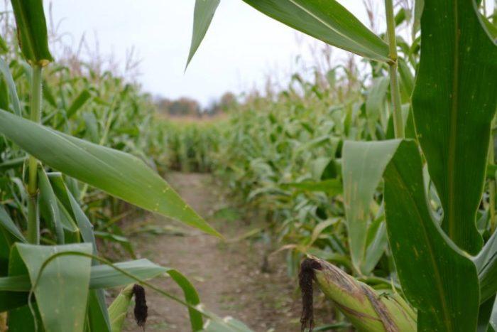 5. Thunder Road Farm Corn Maize, Corinna