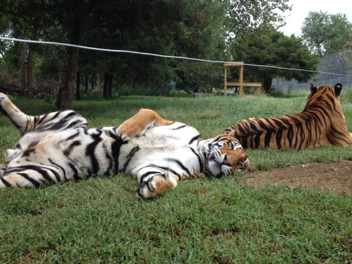 Opened in 2000 on donated land, Cedar Cove is a home and preserve to a number of big cats who have been abandoned, neglected, or turned over by previous owners who were no longer able to care for them.