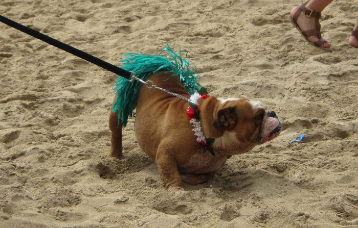 12. Where else will you see a dog wearing a grass skirt and lei?