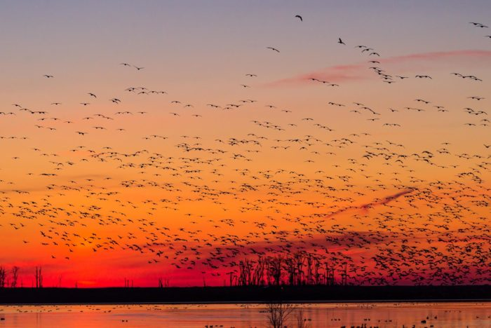 Snow Geese are common here, too. Don't be surprised if you see hundreds flying away at once.