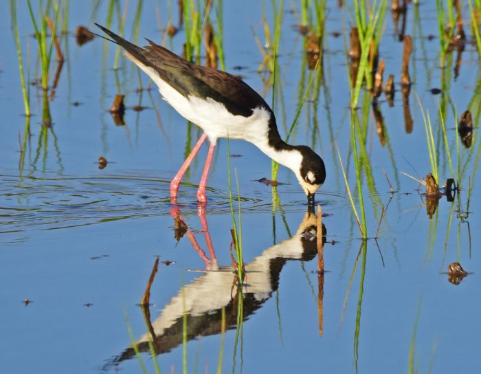 This Black-Necked Stilt is one example of waterfowl you'll find in the marsh.
