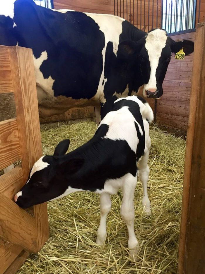 Charmingfare Farm has all the animals that you'd expect to see at a New Hampshire farm, like cows....