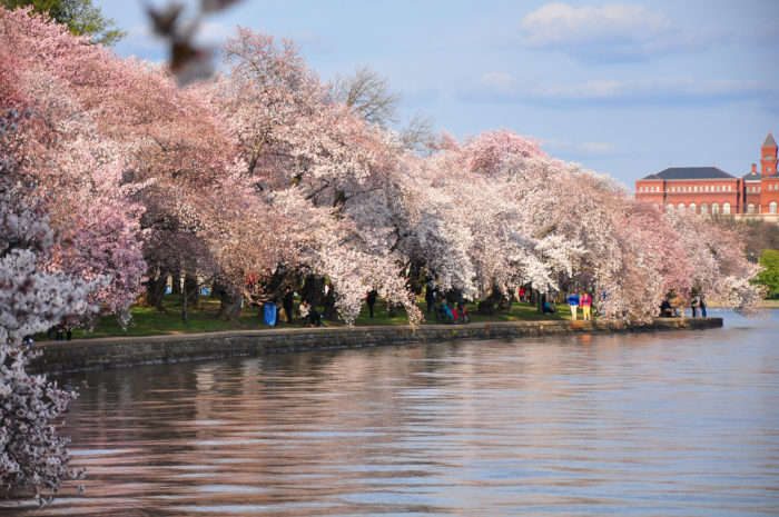 12. The cherry blossoms are magnificent.