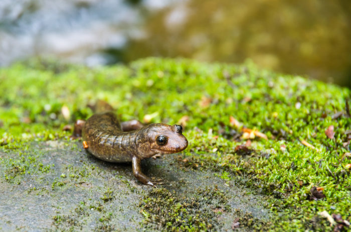 One of the many things the park is known for? A fascinating variety of wildlife and the title of Salamander Capital of the World!