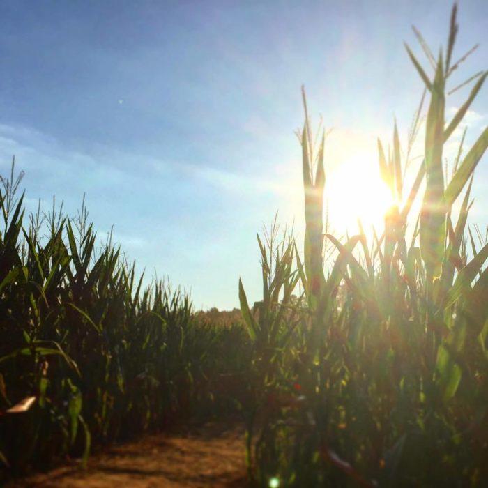 8. Colonel Cob's Corn Maze at Mitcham Farm— 797 W Macedonia Church Rd, Oxford, Georgia