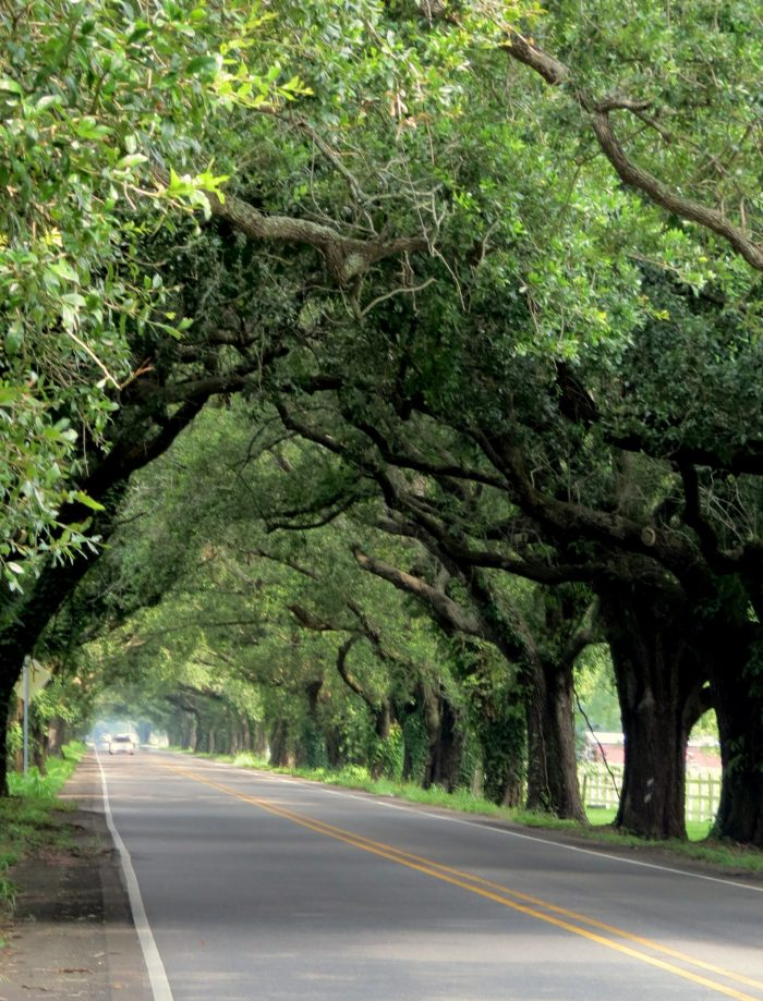 If you haven't discovered this beautiful tunnel of trees yet, you are in for a treat.