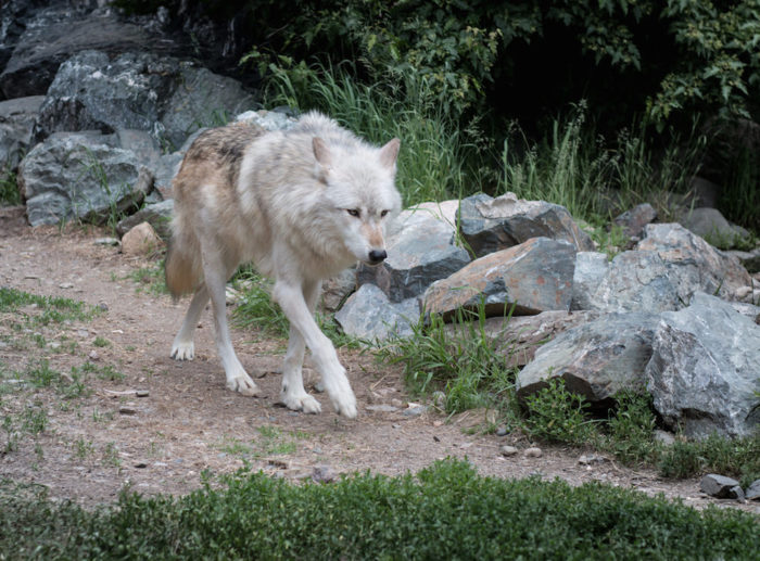 Ely is also a great place to spot wildlife without ever stepping foot into the woods. The International Wolf Center and North American Bear Center allow visitors to see these wild creatures up close with no long hikes or tent setups needed.