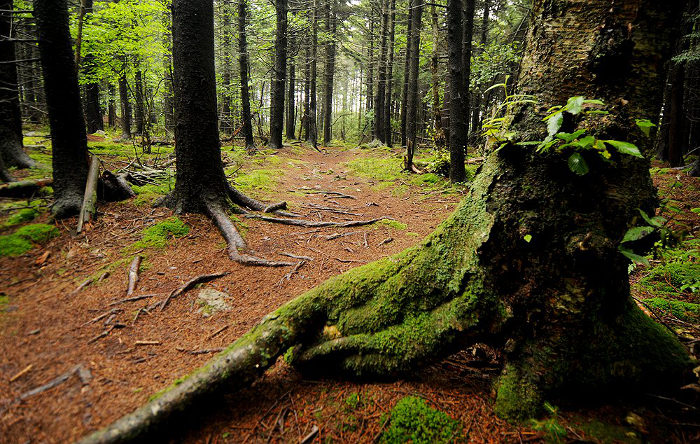 There are hiking trails around the chairlift area to explore the red spruce forest.