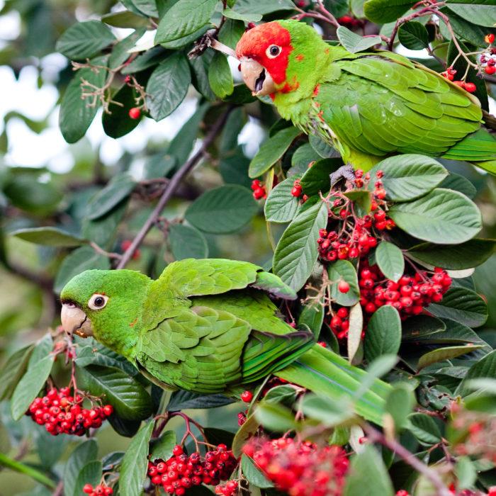 8. Parrots of Telegraph Hill: Corner of Filbert Street and Kearny Street on Telegraph Hill