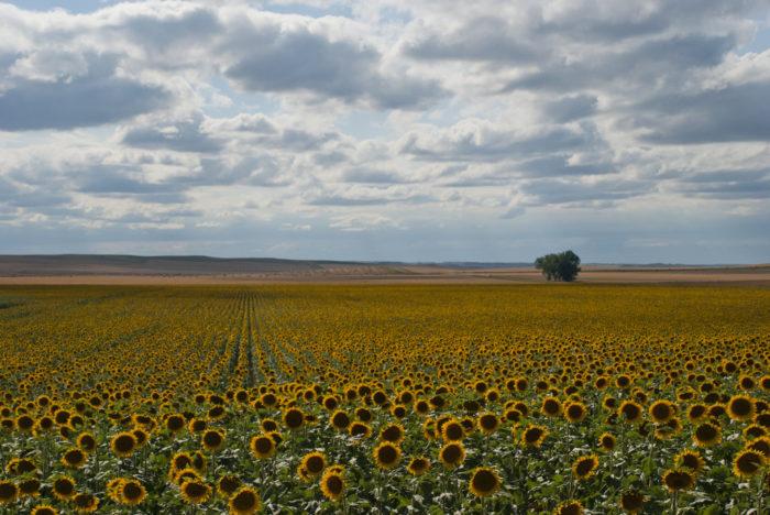 5. ... Sunflowers...