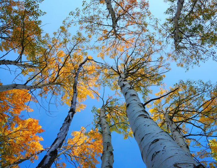 Quaking aspens are pure beauty in the fall. As the seasons change and temperatures cool, you'll want to be somewhere like June Lake to fully experience their magnificent.
