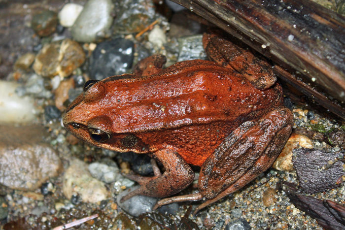 The damp and shady environment is perfect for creatures like this little guy, the northern red-legged frog.