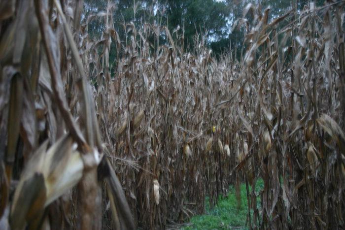 3. Get lost in a top notch corn maze.