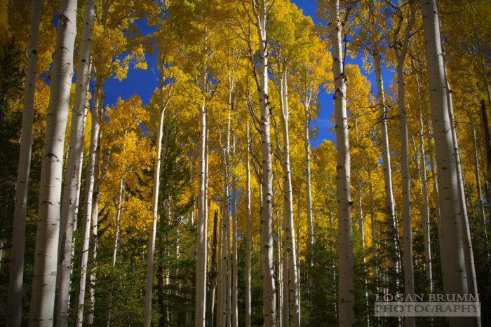 A walk along trails like Abineau, Kachina, or Waterline show off the golden aspens and, if you visit on a breezy day, you get the joy of hearing the leaves rustle above you.