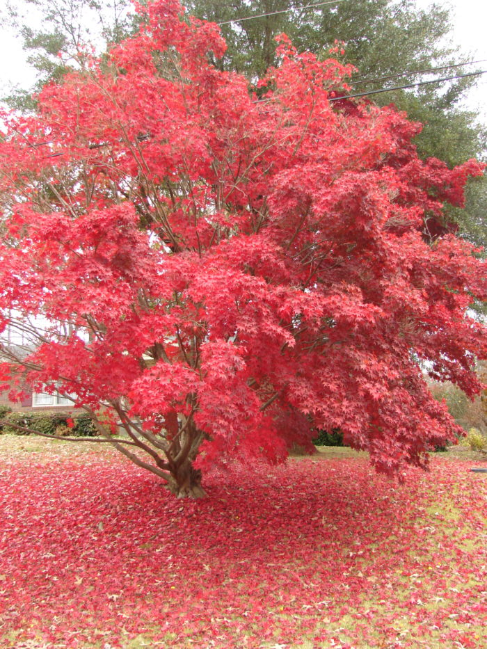 You'll be able to catch some beautiful scenery if you visit during autumn, like the shedding of the leaves for this Japanese maple.