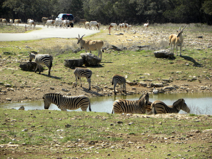You get to drive right through the habitat of deer, lemurs, kangaroos, ostriches, rhinos, camels, zebras, and giraffes.