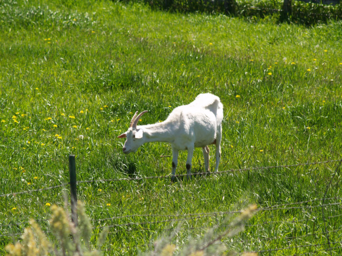 The trail takes you through several rural fields. You might be lucky enough to spot a baby goat or two!