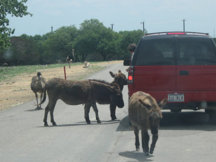 So the next time you're in the hill country and want something new and different to do, pay a visit to the Natural Bridge Wildlife Ranch.