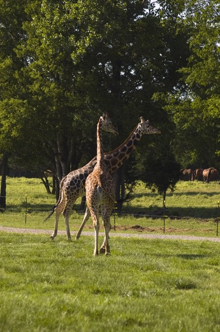 There are also plenty of giraffes...