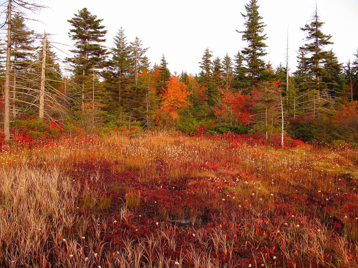 The southern area of Dolly Sods is characterized by red spruce forests.