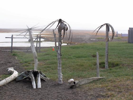 Because Barrow has a treeless ecosystem made up of primarily tundra, some comedians in town have planted some fake palm trees to offer a good laugh for visitors and locals alike.  The tundra in and around Barrow is formed by a permafrost layer that can be as much as 1,300 feet deep.